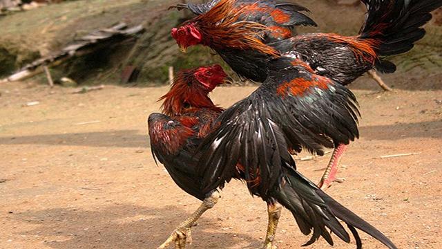 Berjudi SV388 Sabung Ayam Online Deposit Paling Murah